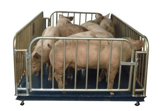 5吨称猪/牛电子秤